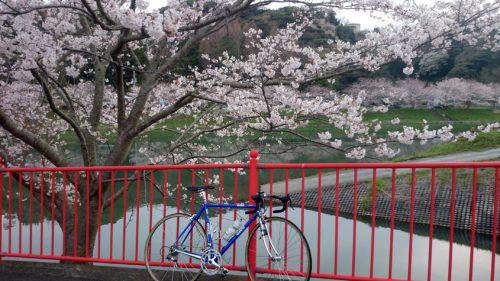 弓ヶ浜に流れ込む青野川は南伊豆の桜の名所です
